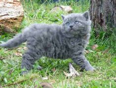 Selkirk Rex . Curly haired cat