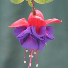 Fuchsia 'Dark Eyes' Trailing fuchsia - 8 per pack