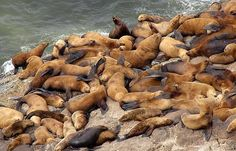 Sea Lion Caves, one of the most dependable places to see year round residents, north of Florence Oregon