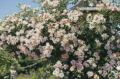 Rosas Art - Rosa open Arms Syn. chewpixcel  by Dr Keith Wheeler