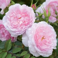 Lady Salisbury - David Austin; soft shade of pink, double full bloom, hardy, excellent repeat, bushy growth. 4ft x 3ft