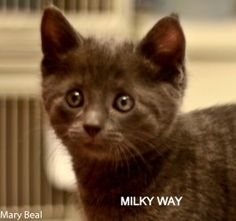 Milky Way & Luna is an adoptable Domestic Short Hair-Gray Cat in Prescott, AZ. Milky Way & Luna's Contact Info *** Questionnaire *** If you would like to meet Milky Way & Luna, please download the que...