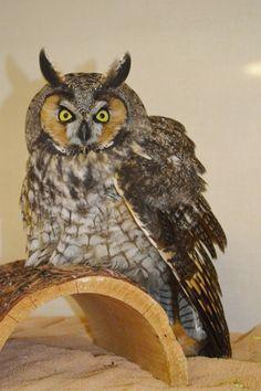 Owl - Long Eared Raptors, Owl, Birds, Animals, Animaux, Owls, Bird, Animal, Animales