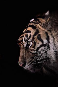 Manis ♀ (Sweet in Indonesian)   Sumatran Tiger from Taman Safari in Indonesia @ Ueno zoological gardens in Tokyo, Japan
