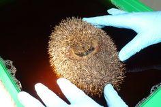 Think Hedgehog!