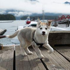 Eliminate Over 30+ Common Behavioral Siberian Husky Issues - siberian husky #husky #siberianhusky