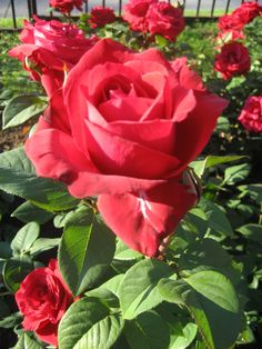 The Liebeszauber is a red Hybrid Tea rose