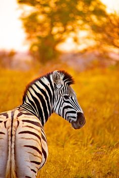 Volunteer with Via Volunteers in South Africa and check out our amazing wildlife! https://www.viavolunteers.com/ Zebra at Dusk, Kruger | Shannon Wild