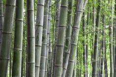 Bambu' Nigra  Il Phyllostachys nigra (Bambu' nigra) è un ottimo bambu' per siepi e barriere sempreverdi, con bellissimo fogliame verde scuro lucido e canne di color verde da giovani che divengono successivamente nere.