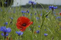 Cornflower and Poppy by Wigsbuy-reviews