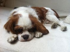 my little cavalier king charles :)