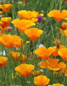 poppies are late spring flowers, they die when summer begins up on the poppy fields near Lancaster CA Exotic Flowers, Wild Flowers, Beautiful Flowers, Spring Flowers, Fleur Orange, Orange Poppy, California Poppy, Dream Garden, Mother Nature