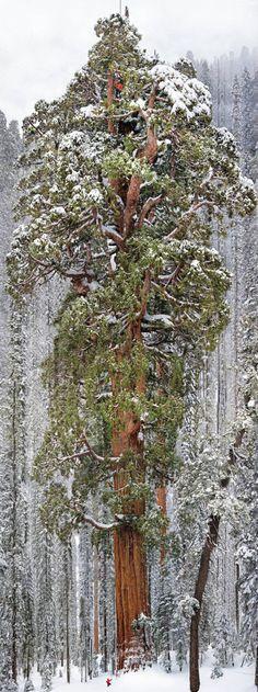 Een boom van 3200 jaar!, 8 meter dik!!, 75 meter hoog!!! en meer dan 1200 m3!!!! Deze boom heet dan ookThe President Tree.Nog nooit eerder in zijn totaal op de foto genomen. Het heeft ze 32 dagen gekost en de foto bestaat uit 126 individuele foto's. Wauw.