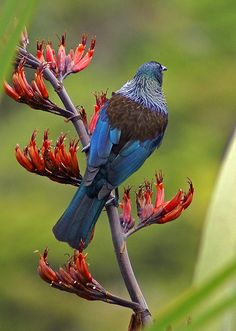 How Kiwi is this - a gorgeous blue winged tui perching on a red-flowering flax tree branch.