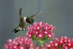 Hummingbird Feeding on Red Penta Flowers_RGB1547 by DansPhotoArt, via Flickr
