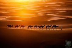 Караван верблюдов в Сахаре Верблюды, пересекающие Эрг Шебби на марокканской территории пустыни Сахара. Эрг – это широкая плоская область пустыни, покрытая песком, продуваемым ветрами, где отсутствует или почти нет растительности.