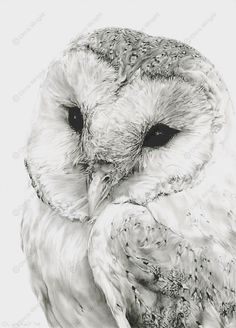 Owl Drawings | barn owl sketches pencil drawings wildlife art pictures