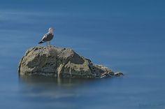 herring gull by dlddanilo