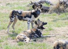 African Painted Dogs-endangered species-this taken at the Tulsa (oklahoma) zoo (USA)