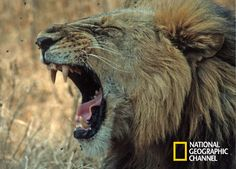I Love Cats, Big Cats, National Geographic, Lion Love, Lions, Fox, Photography, Animals, King Size
