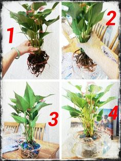 Anthurium in water Plants Grown In Water, Water Plants Indoor, Water Garden Plants, Container Water Gardens, Mini Plants, Container Plants, Plante Anthurium, Inside Plants, Floating Flowers
