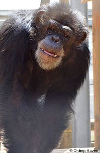 Help feed and care for chimps retired from medical research. Donate now Free Planet, Donate Now, Medical Research, Cute Animals, Newhaven, Cruelty Free, Pretty Animals, Cutest Animals, Cute Funny Animals