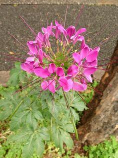 セイヨウフウチョウソウ(クレオメ) Cleome hassleriana