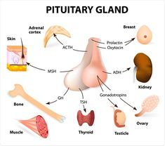 Illustration about Endocrine gland and hormones. Illustration of hormonal, gland, erythropoietin - 72324437 Brain Anatomy, Human Anatomy And Physiology, Medical Anatomy, Pituitary Gland Tumor, Adrenal Cortex, Craniosacral Therapy, Human Body Systems, Nursing Tips, Brain Tumor