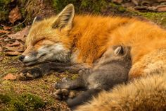 This mother fox fed and groomed all her kits who then took off back in to the den except for this one kit who curled up with his mother and they both fell asleep