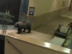 Four Black Bears break into The Lodge at Angel Fire Resort in New Mexico and drink 100 beers. That's a case per bear. They got bearly buzzed. Angel Fire Nm, Angel Fire Resort, Mother Bears, Viking Helmet, Land Of Enchantment, Red River, Black Bear, New Mexico, The 100