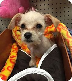 Long Beach, CA - Yorkie, Yorkshire Terrier/Maltese Mix. Meet Vadar, a puppy for adoption. http://www.adoptapet.com/pet/16188578-long-beach-california-yorkie-yorkshire-terrier-mix