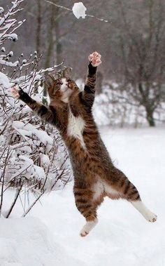 Awesome picture of a cat leaping off the ground.