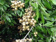 Longan Fruit (dragon eye fruit) tree