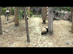 Panda cubs playing with keepers (part 2) - YouTube