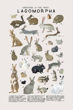 Creatures of the order Lagomorpha- vintage inspired science poster by Kelsey Oseid - Top-Trends Minneapolis, Poster Drawing, Poster Art, Animal Sketches, Animal Drawings, Vintage Inspiriert, Nature Posters, Nature Drawing, Art Nature