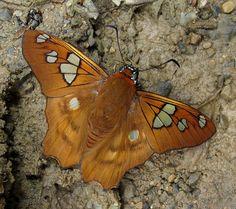 Myscelus phoronis photographed by Karen Nichols at San Pedro, Manu Road, Cusco, Peru