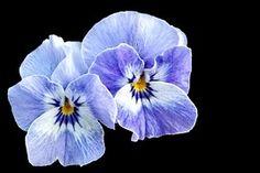 Pansy, Spring, Blue, Violet, Flower