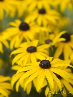 Gelber Sonnenhut, wie Leuchtkörper im Garten Nature, Plants, Glowing Flowers, Yellow Flowers, Roses Garden, Summer Flowers, Flowers Garden, Naturaleza, Plant
