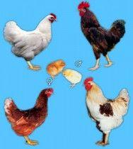 O que saber para selecionar a melhor raça de galinhas poedeiras - Notícias - Cursos CPT
