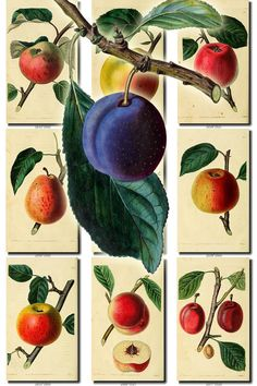FRUITS VEGETABLES-5 Collection of 160 vintage images Plum Pine