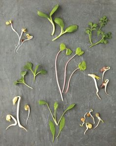 Martha Stewart gives an easy guide to sprouted seeds or growing microgreens . . . watch out Melissa Valdes . . . this is coming to our new apartment in March C: