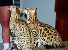 My first Bengals Emma (F2) on the left & Milo (F1) on the right. You can really see the ALC in Milo's profile.