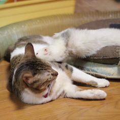 あるちま( ´ ▽ ` )ノ✨⭐️ 長岡は、雪が降ってます。 車の車外気温は1度❄️ さむーい、冬日になってます😆😸✨ ferret-chimaki✨ cat-ALPHA✨  #ferret #いたち #フェレット #ふわもこ部 #ourgreatferretspics #cat #cute #猫 #猫部 #furet #instajapan  #igcatphoto #catsagram #ferretsofinstagram #ferretgram #ferrets #instaferret #OfficialCritters #catsofinstagram #cats #kitty #love #cutepetclub #IGersJP #balousfriends #pocket_family_member