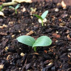 In my last garden, I never direct seeded ANYTHING unless I had to (like carrots or radishes). I don't have a set up in my new space yet to start inside, and didn't want to buy starts. But in a spur of the moment decision last week I decided I needed cucumbers this summer, and stuck some Dragons Egg seeds in a half wine barrel. And they came up! Without a heat mat or grow light!