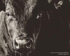 Big Black Angus Bull Closeup -Farm Ranch Animal -Cattle -Black & White…