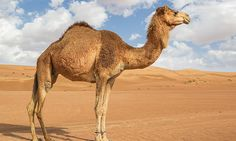 Enjoy some of the UAE's cultural characteristics on an exciting tour that features camel training and a scenic drive through the desert #CelebrityCruises #CelebrityShoreExcursions