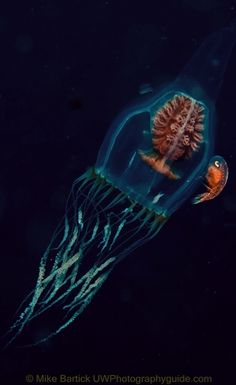 Scrippsia pacifica Jellyfish | Ode to Medusae (Bewitched, Beguiled ...