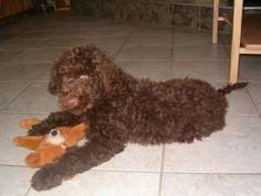 Barbet dog named Bleuzorange sosie dite Camille