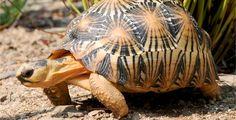 Beautiful juvenile radiated tortoise