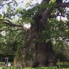 This is the oldest living oak tree in South Africa. According to the folks at Vergelegen. Sirca 1706